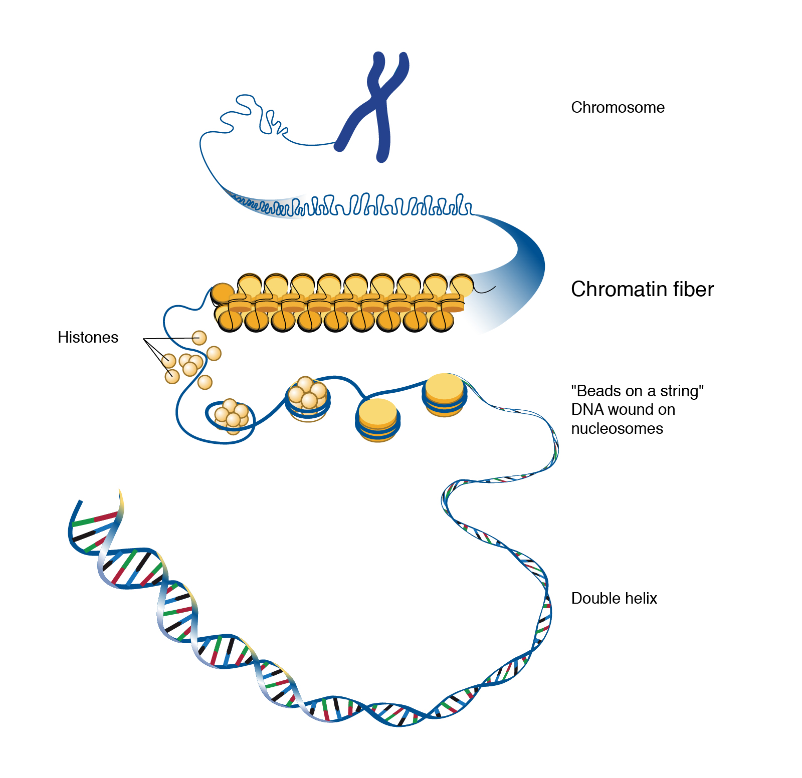 What is the relationship between the concepts of chromatin and chromosomes? Are euchromatin and heterochromatin a part of chromosomes?